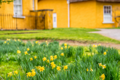 Derrymore-house-bessbrook-daffodils-3